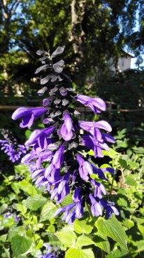 Salvia-coerulea-3