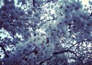 日本とゆかりの深い「サクラ・パーク(Sakura Park)」で桜が満開!