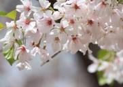 春になると桜が満開になる「サクラパーク」
