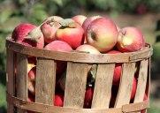 気軽にりんご狩りが楽しめるランドルフの「サンハイ果樹園」
