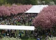 2016年ニューヨーク近郊のお花見&桜祭り情報