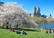 セントラルパークのチェリーヒルに咲く桜