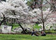 セントラルパークの桜の名所「チェリー・ヒル」と「ピルグリム・ヒル」