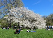 セントラルパークのシープミドウに咲く桜