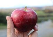 ハドソンバレーの「マスカー果樹園」でりんご狩り