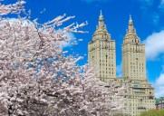 今年は開花が早め!セントラルパークに咲く満開の桜