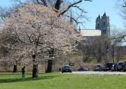 ニュージャージーでお花見できる桜名所「ブランチ・ブルック・パーク」