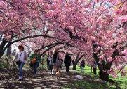 セントラルパークの八重桜トンネルを歩こう