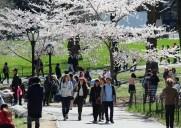 セントラルパークの桜(2017年)