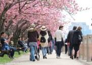 ルーズベルトアイランドの桜並木