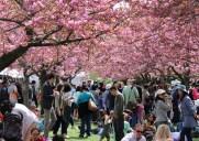 ニューヨークのお花見できる桜の名所5選