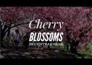 セントラルパークの八重桜トンネル(動画)
