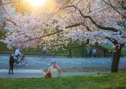 セントラルパークの桜(2021年)