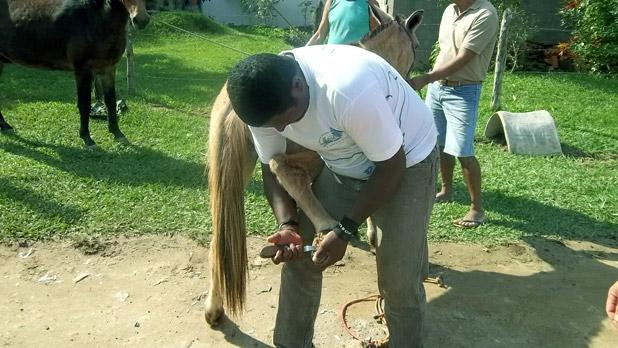 Técnico limpando o casco de um burro para proteção das patas