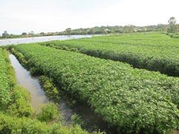 """As plantas aquáticas da """"wetland"""" também são utilizadas para compostagem"""