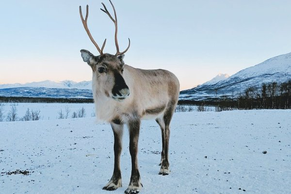 Cool Reindeer Facts You Didn't Know -