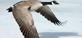 Goose, What Goose?
