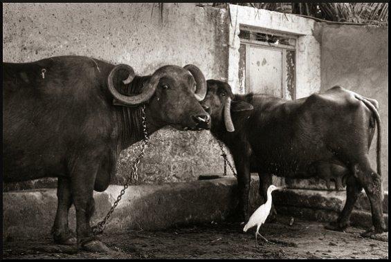 Buffaloes and Igret, Junagadh