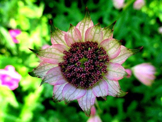080 pink centred flower