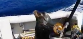 Sea Lion Boards Boat for Food
