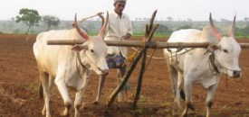 Ban on Cow Slaughter