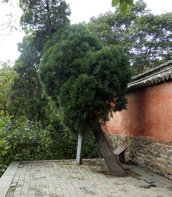 the 1200-year old cypress tree planted in honour of Bodhidharma