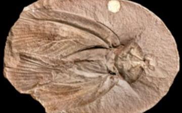 Archimylacris