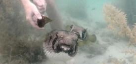 Pufferfish Holds Vigil Until Help Arrives