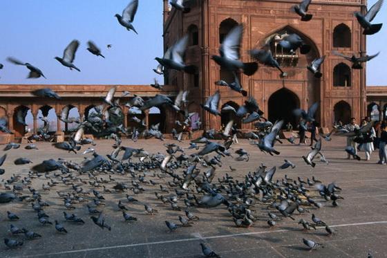pigeons-delhi