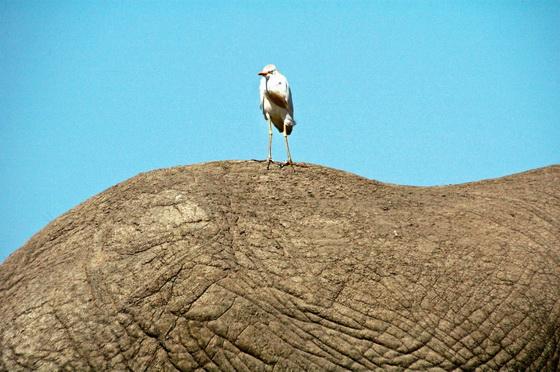 bird-on-elephant