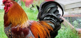 Chuck, the rooster