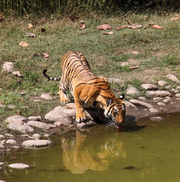 Tiger at waterhole