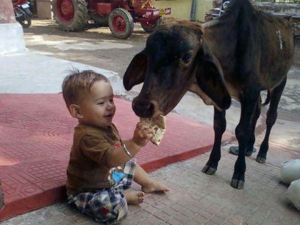 Feeding chapatti to cow