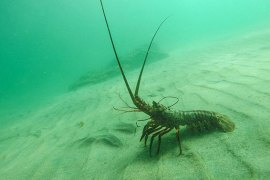 lobster underwater photo by-kate mansury