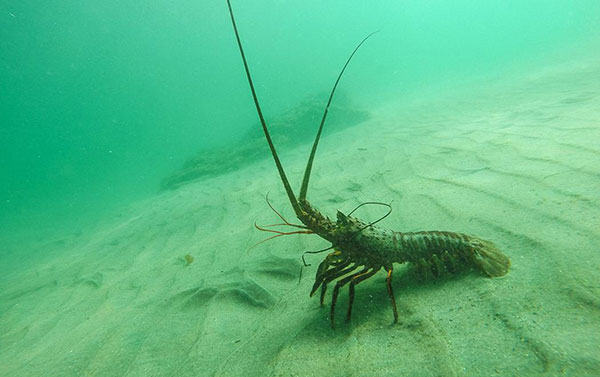 lobster underwater photo by-kate mansury