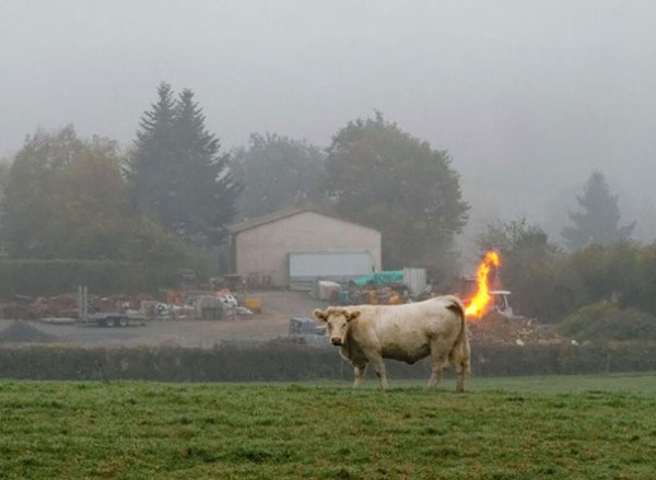 cow on fire