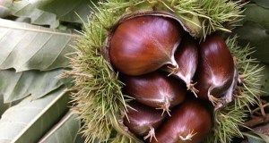 A castaña estréase na campaña de consumo de froita fresca na escola