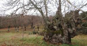 O Castiñeiro de Soutogrande (Vilariño de Conso) e o do Oreal (Viana), novas árbores senlleiras de Galicia