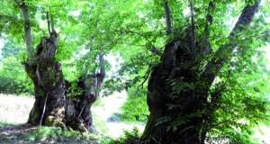 Xornada sobre aproveitamento e conservación do castiñeiro, en Sober