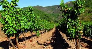 Un proxecto de investigación permitirá garantir a orixe do viño en Valdeorras