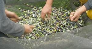 Onde a recollida da colleita de castañas e de olivas se converte nunha experiencia turística