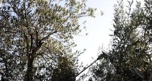 Quiroga pon en valor 30 hectáreas de terreos abandonados coa plantación de oliveiras