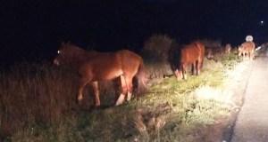 O GES Valdeorras intervén para dispersar a un grupo de cabalos que estaban na OU-122