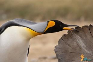 """""""Entre todos, ele é o Rei"""" - O amor deles é eterno, como eterna é a sua incessante luta pela sobrevivência. O Pinguim Rei afasta-se do frio da Antártida e vem sentir o calor do sul, um pouco mais a norte. Baía Inútil, Terra do Fogo, Chile - 2014"""
