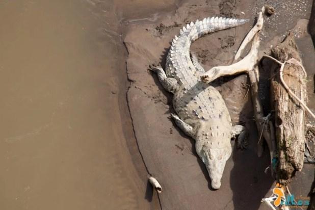 Crocodilos do Rio Tarcoles - Costa Rica-6