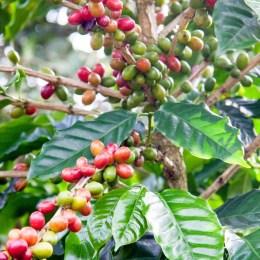 Monteverde - cafe e cacau-1
