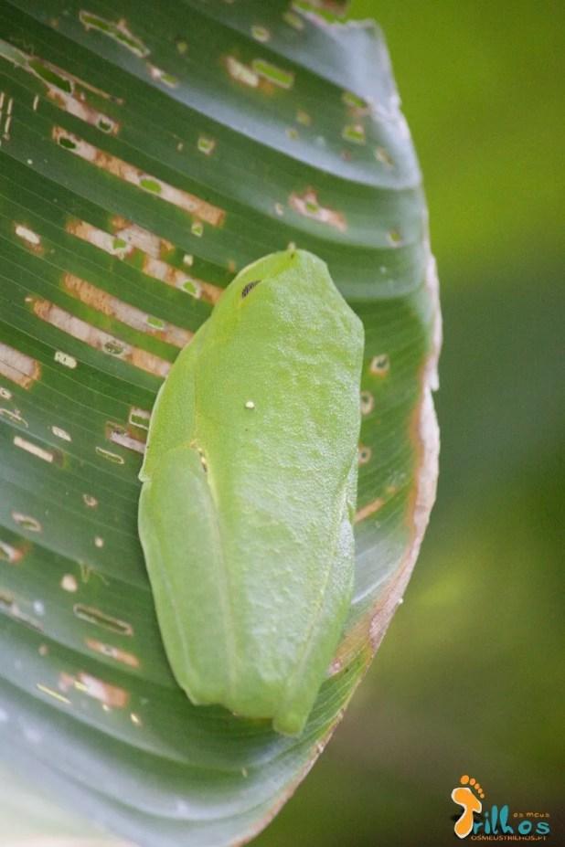 la rana verde - Parque Natural Manuel Antonio