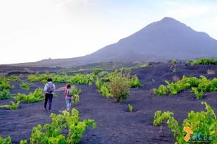 Os vinhedos nas encostas do Vulcão