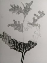 Christine Howard - Drawing of Ferns in progress