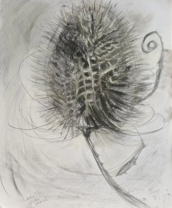 Fiona Aitken - Lockdown Teazel - charcoal, chalk and pencil